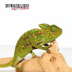 4-5 Inch Veiled Chameleon