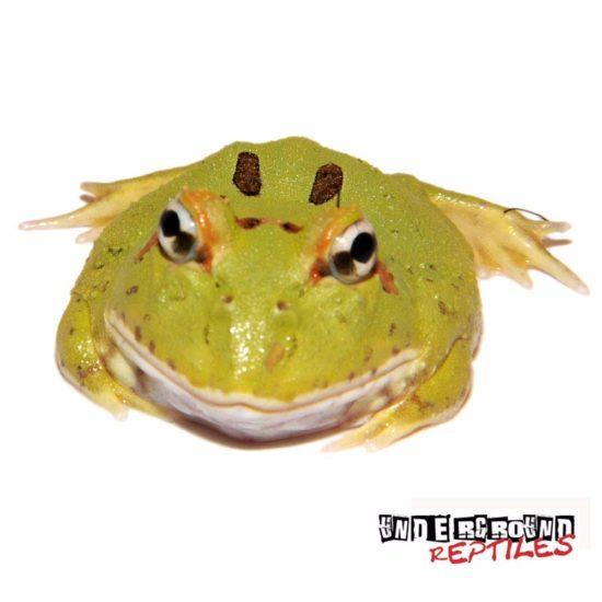 4-Spot Patternless Pacman Frog