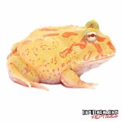 Albino 4-Spot Patternless Pacman Frog