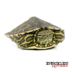 Baby Mexican Ornate Slider Turtle