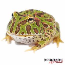 Ornate Pacman Frog