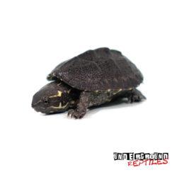 Baby Stinkpot Musk Turtle