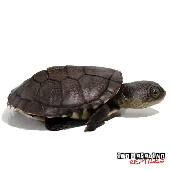 Baby African Mud Turtle