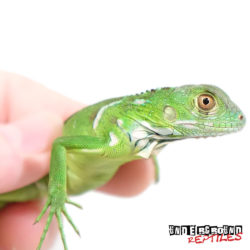 Baby Nipped Tail Green Iguana