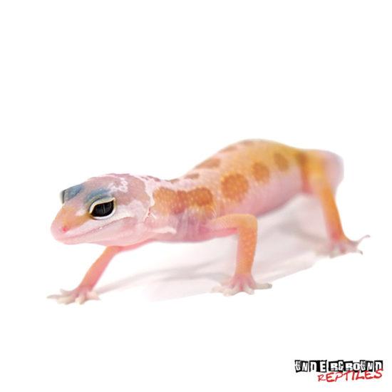 Baby Leucistic Leopard Gecko Wholesale
