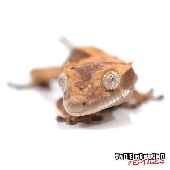 Baby Premium Crested Gecko Wholesale