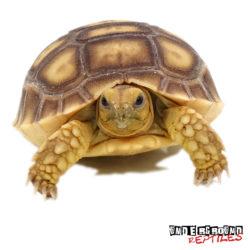 Baby Sulcata Tortoise Wholesale