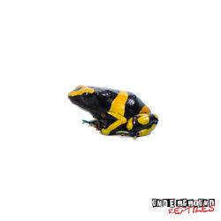 C.B. Bumblebee Dart Frog