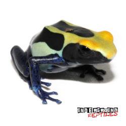 C.B. Cobalt Blue Tinctorius Dart Frog