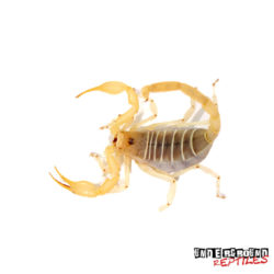 Dune Scorpion Wholesale