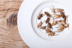Feeder Crickets