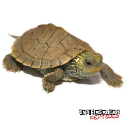 Baby Geographic Map Turtle