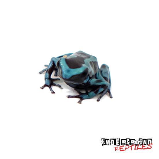 C.B. Green & Bronze Auratus Dart Frog