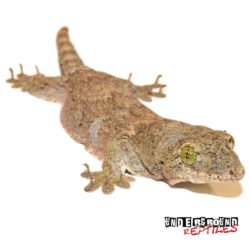 Halmahera Gecko