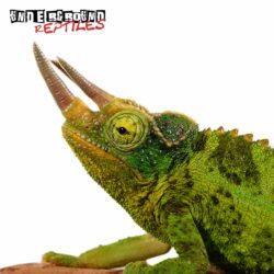 Jacksons Chameleon Wholesale