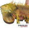 5+ Foot Green Iguana