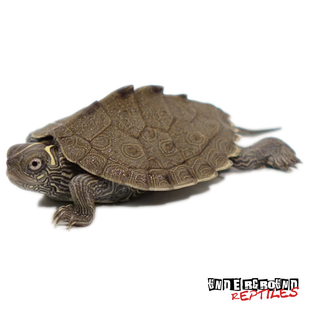 Baby Mississippi Map Turtle Baby Mississippi Map Turtle   UGR Wholesale