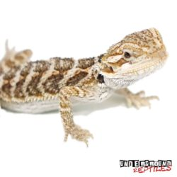 Normal Baby Bearded Dragon Wholesale