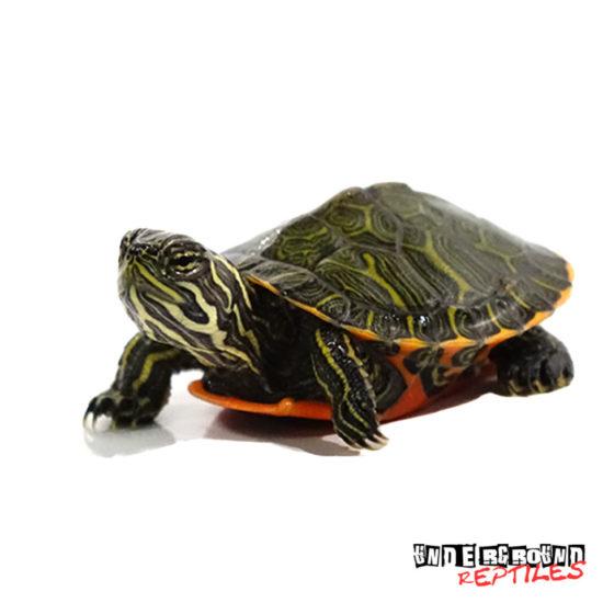 Baby Northern Redbelly Slider Turtle