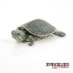 Red Eared Slider Wholesale