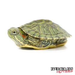 Baby Rio Grande Red Ear Slider Turtle