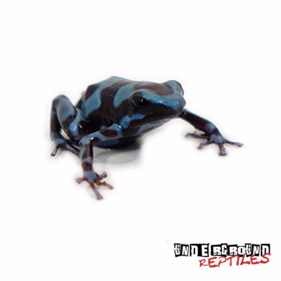 C.B. Super Green Auratus Dart Frog