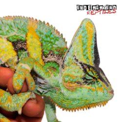 9-11 Inch Veiled Chameleon Wholesale