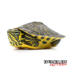 Baby Yellowbelly Slider Turtle Wholesale
