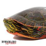 Western Painted Turtle Wholesale