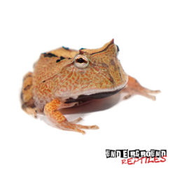 Wholesale Baby Brown Suriname Horned Frog For Sale