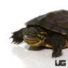 Baby Vietnamese Pond Turtle