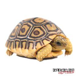 Leopard Tortoise Wholesale