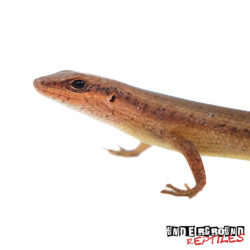 Red Sided Skink Wholesale