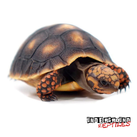 Baby Red Foot Tortoise Wholesale