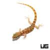 Tripoli Gecko