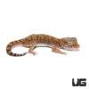 Short Fingered Gecko