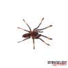.5 - .75 Inch Venezuelan Suntiger Tarantula