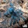 .25 .75 Inch Antilles Pinktoe Tarantula