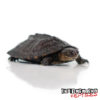 Baby Serrated Hinged Terrapin Turtle