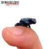 C.B. Blue Azureus Tinctorius Dart Frog