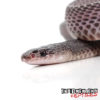 West African File Snake