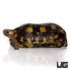 Speke's Hingeback Tortoise