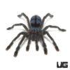 .25 - .5 Inch Puerto Rican Pinktoe Tarantula