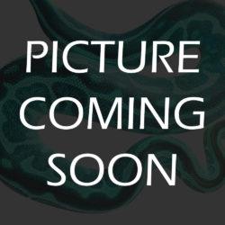 Adult Female Woma Python - UGR Wholesale