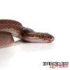 Black African House Snake