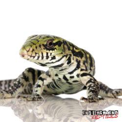 Wholesale Reptiles, Amphibians, Inverts & More - UGR Wholesale