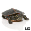 Baby Southern Painted Turtle