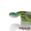 African Green Bush Snake