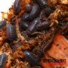 Armadilidium C.F. Frontirostre Isopods -- 10 Count