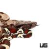 Baby Guyana Redtail Boa